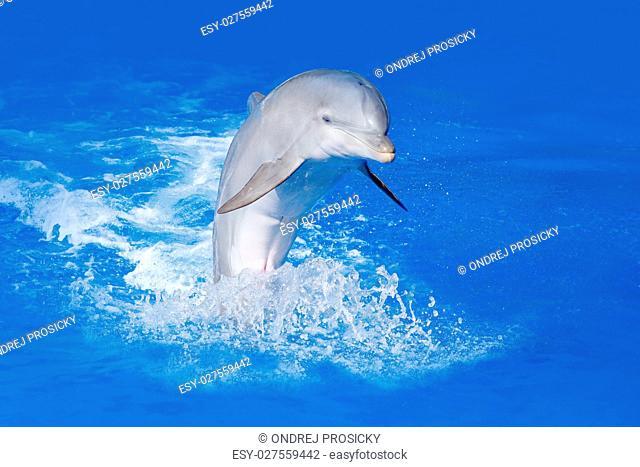 Bottlenosed dolphin, Tursiops truncatus