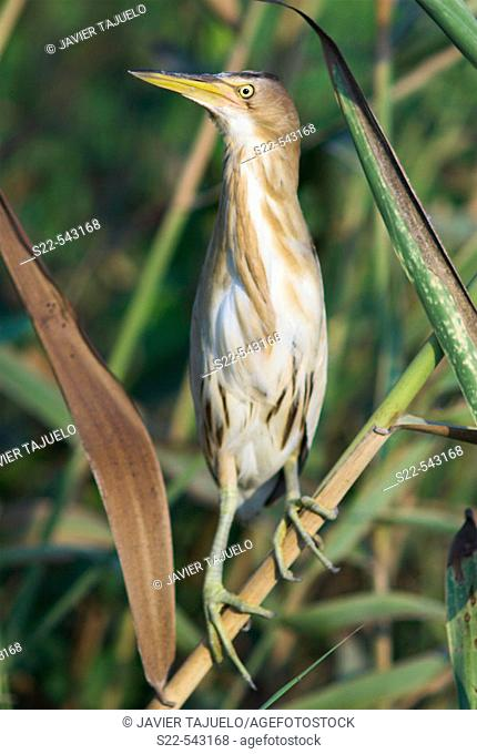Little Bittern (Ixobrychus minutus) perched on reed. Comunidad Valenciana, Spain