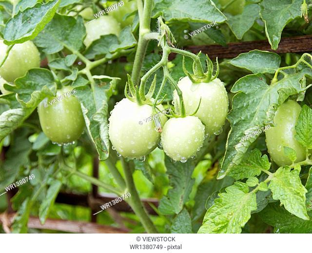 Myanmar Inle Lake tomato garden