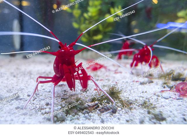 Fire, blood, scarlet, cleaner shrimp, Lysmata debelius, indigenous to the Indo-Pacific