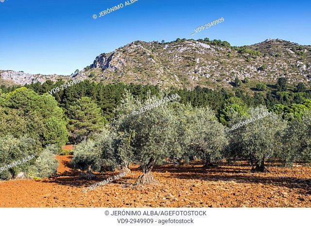 Olive field. Sierra Blanca forest near Refugio Juanar, Ojen. Málaga Costa del Sol, Andalusia. Southern Spain Europe