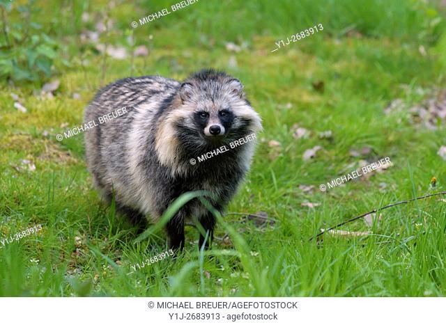 Raccoon dog, Hesse, Germany, Europe