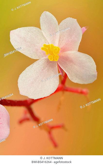 Begonia (Begonia spec.), female flower