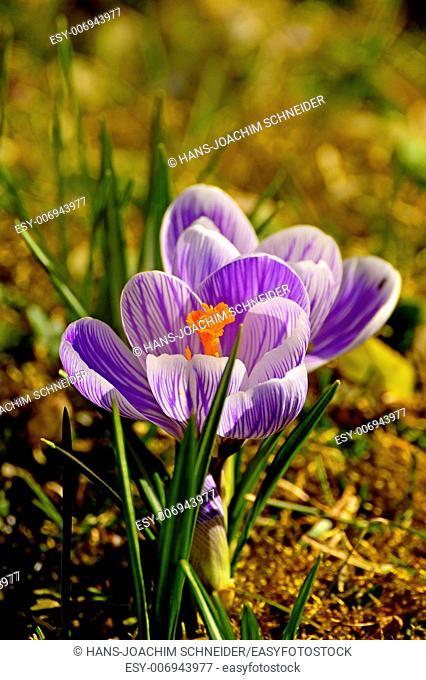 Crocus, spring flower in Germany
