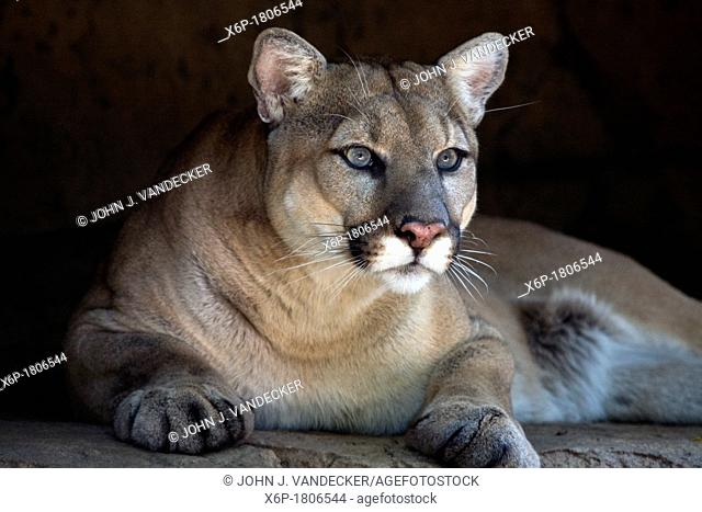 A Cougar, Puma concolor, peering from rock outcrop  Bergen County Zoo, Paramus, New Jersey, USA