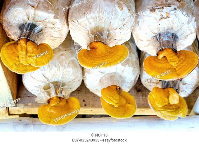 Lingzhi, Ganoderma lucidum mushrooms in the farm