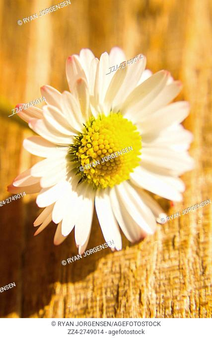 Nature still life close-up on a beautiful fragile white camomile on sunlit wood plank