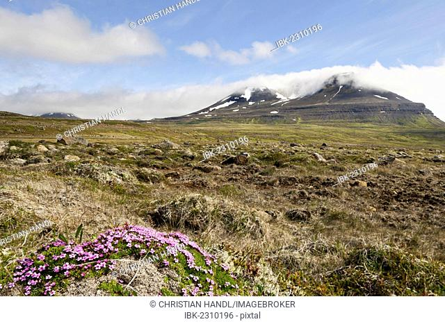Moss campion or Cushion Pink (Silene acaulis), Bakkaheiði, north coast, Iceland, Europe