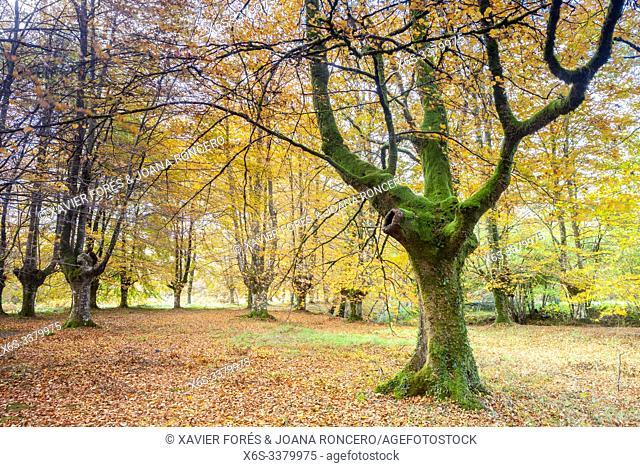 Presazelai beech tree grove, Otxandio, Vizcaya, Spain