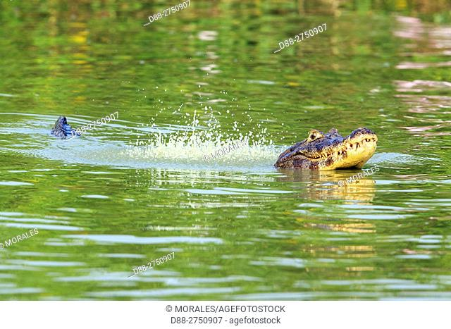 South America, Brazil, Mato Grosso, Pantanal area, Yacare caiman (Caiman yacare), marking his territory by making sounds and lifting water bubbles