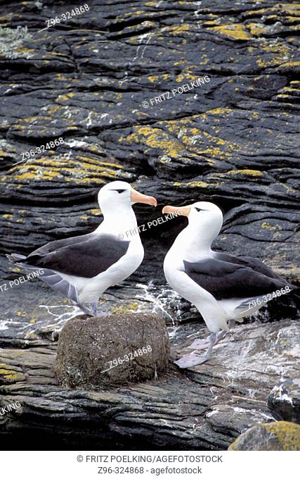 Black-browed Albatross (Diomedea melanophris). Falkland Islands