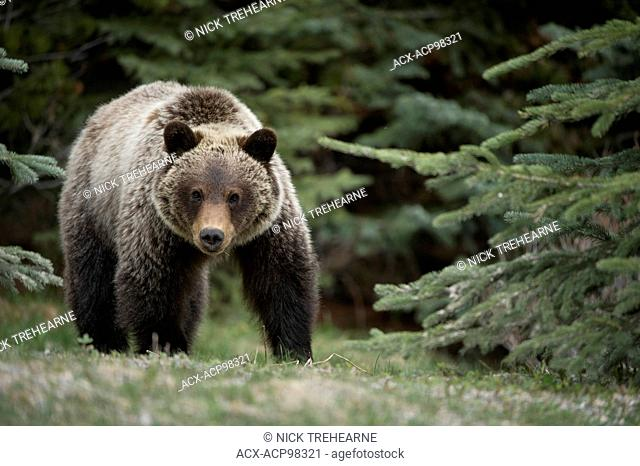 Ursus arctos horribilis, Grizzly bear, rocky mountains, Alberta, Canada