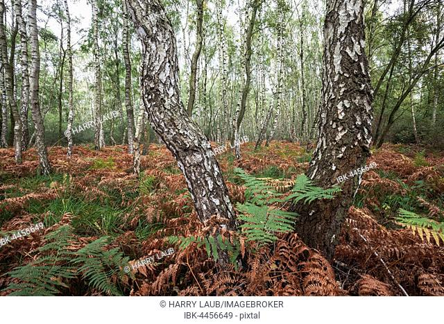 Moor birch trees (Betula pubescens), Birkenbruch Forest, autumnal discolored ferns, Steinhude Nature Reserve, Lower Saxony, Germany