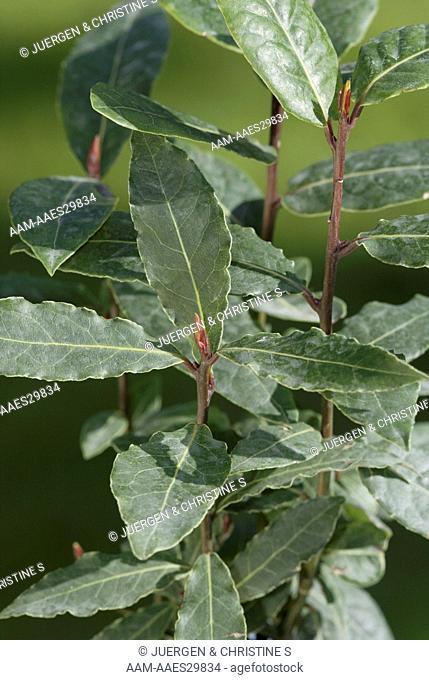 Bay Leaf (Laurus nobilis)