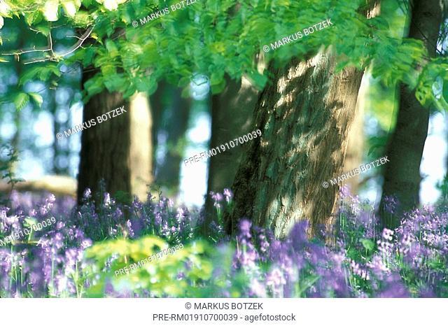 Common bluebell, Hyacinthoides non-scripta