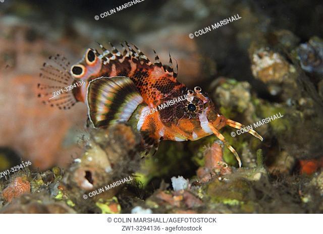 Twinspot Lionfish (Dendrochirus biocellatus), Dropoff dive site, Seraya, near Tulamben, Bali, Indonesia