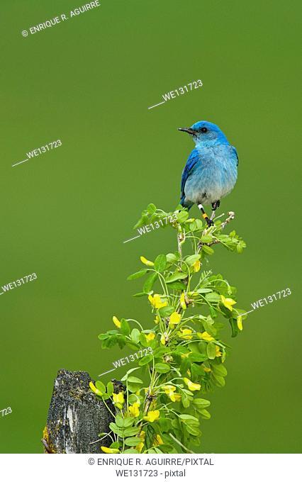 Mountain Bluebird (Sialia currucoides), male