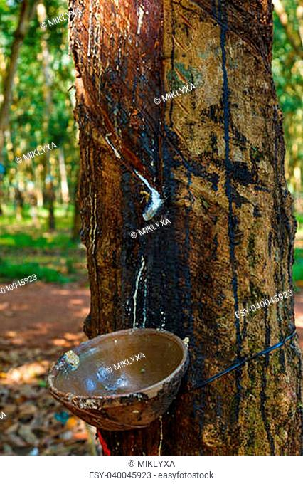 rubber tree and a cup of milk collection to the plantations of rubber trees in Vietnam