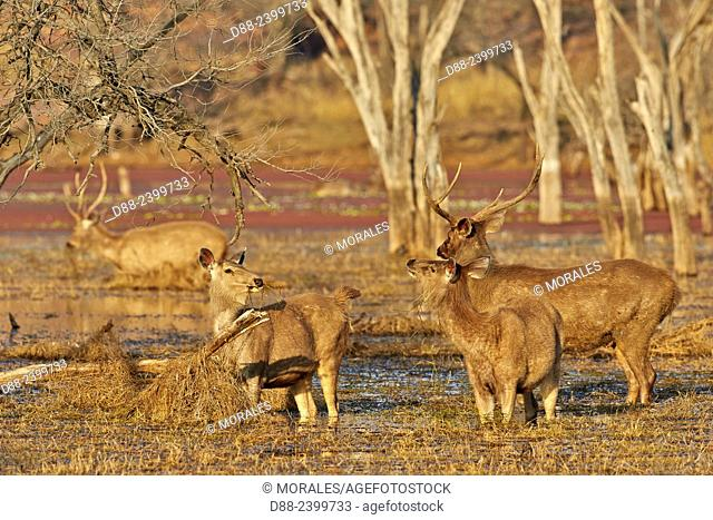 Asia,India,Rajasthan,Ranthambore National Park,Sambar deer (Rusa unicolor),group of female and male feeding on aquatics plants in a marsch