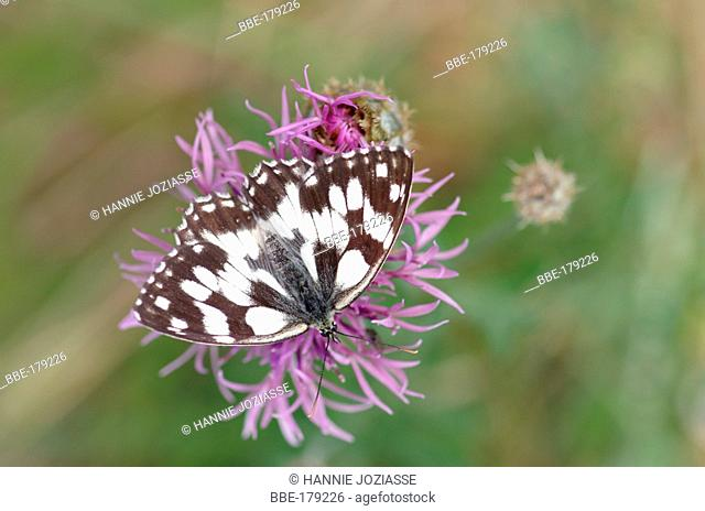 Marbled White on the flower of a Greater knapweed