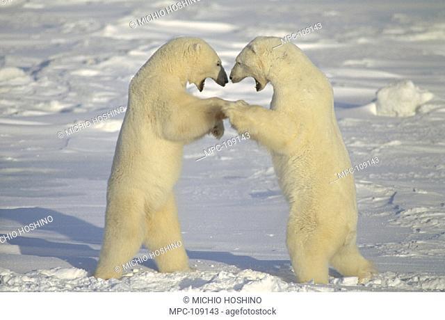 POLAR BEAR (Ursus maritimus)  TWO MALES FIGHTING,  CHURCHILL, MANITOBA, CANADA