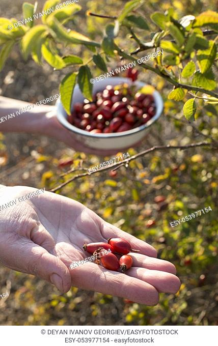 Woman is picking rosehip