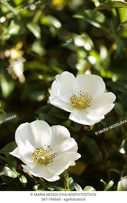 White Rose Flower Duo. Rosa alba semi-plena. March 2008, South Carolina, USA
