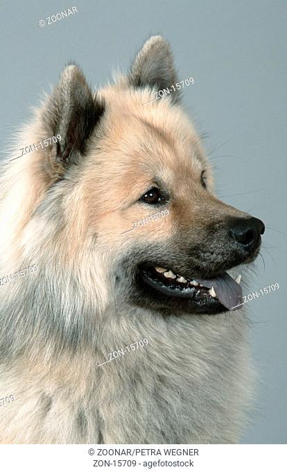 Eurasian  /  Eurasier, falbengrau  /  [Saeugetiere, mammals, animals, Haushund, domestic dog, Haustier, Heimtier, pet, Hochformat, vertical, Kopf, head