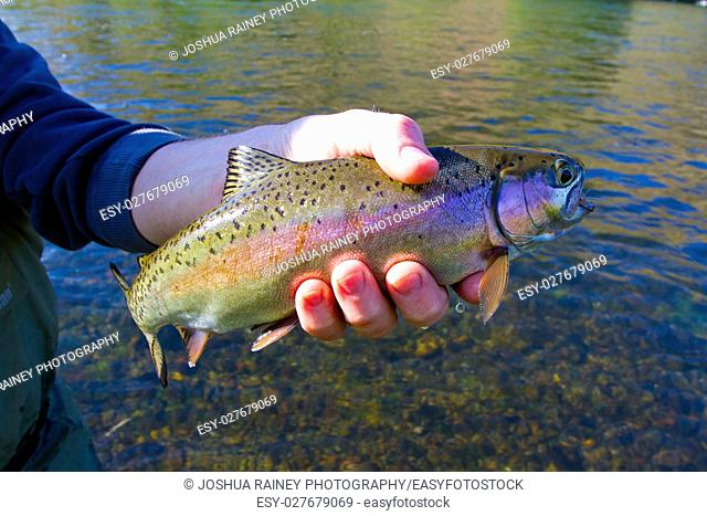 Catch and release fishing is a great sustainable way to enjoy angling yet leaving fish like this native rainbow trout redside for years to come