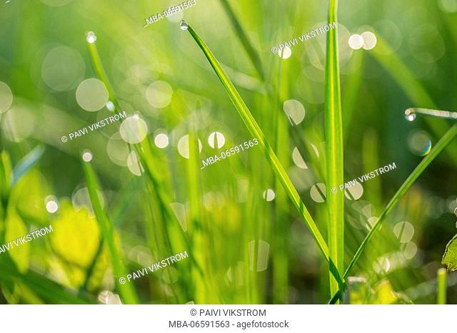 Morning dew on a new green grass, green nature background with bokeh