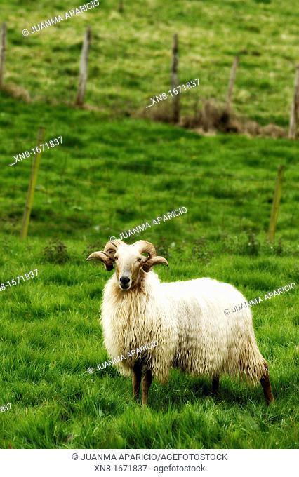 Male sheep looking at camera