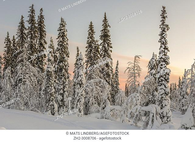 Winter landscape at sunset with nice color on the sky, snowy spruce and birch trees, Gällivare, swedish Lapland, Sweden