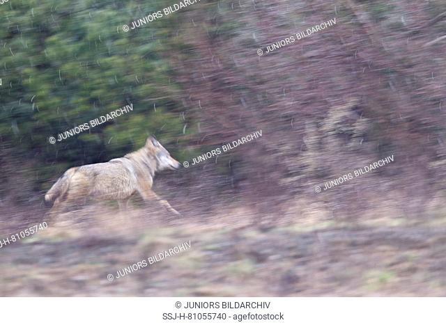 European Wolf (Canis lupus) fleeing during snowfall through the heath