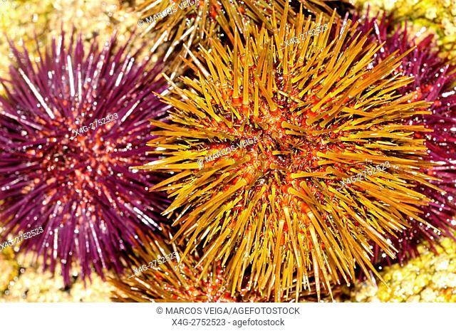 Sea Urchins (Paracentrotus lividus)