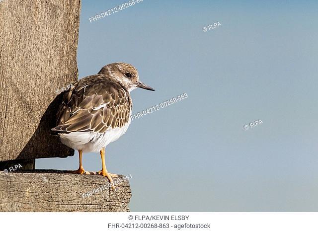 Ruddy Turnstone (Arenaria interpres) adult, non-breeding plumage, standing on groyne, Norfolk, England, September