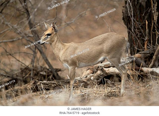 Common duiker (grey duiker) (bush duiker) (Sylvicapra?grimmia), ram, Kruger National Park, South Africa, Africa