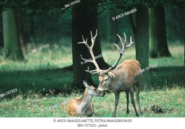Red Deer, pair, Hessen, Germany / (Cervus elaphus)