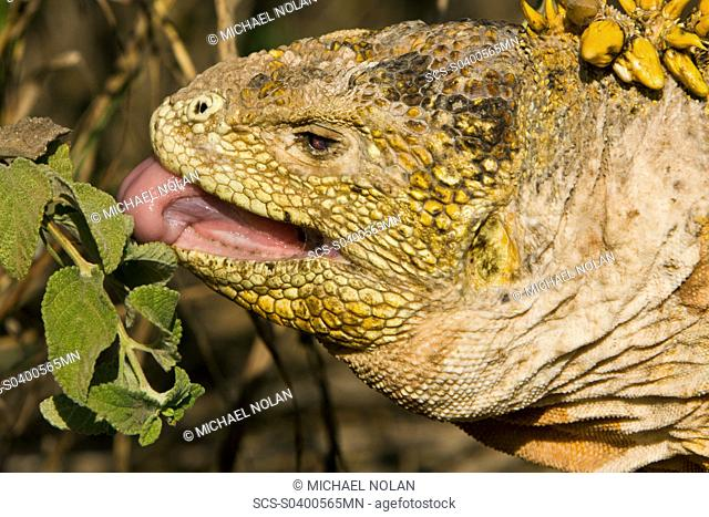 The very colorful Galapagos land iguana Conolophus subcristatus feeding on plants in the Galapagos Island Archipeligo, Ecuador This large land iguana is endemic...