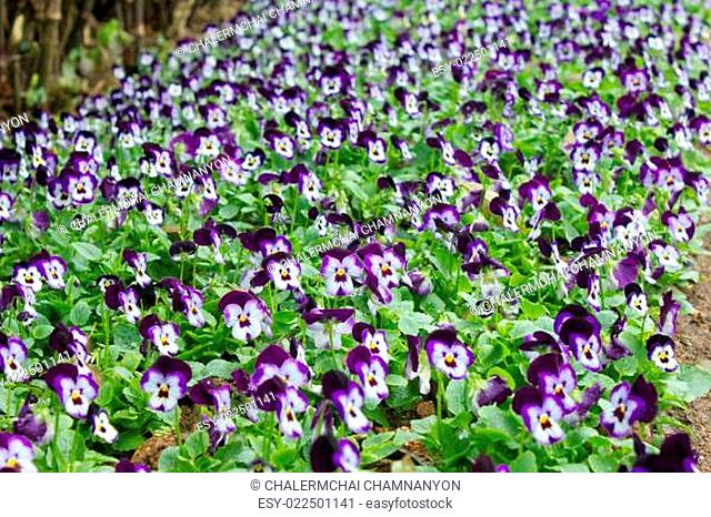 Field of pansy flowers