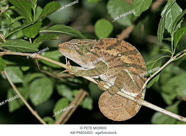 Amber Mountain chameleon (Furcifer timoni), endemic to the Montagne d'Ambre National Park (Amber Mountain National Park) near the northern tip of Madagascar