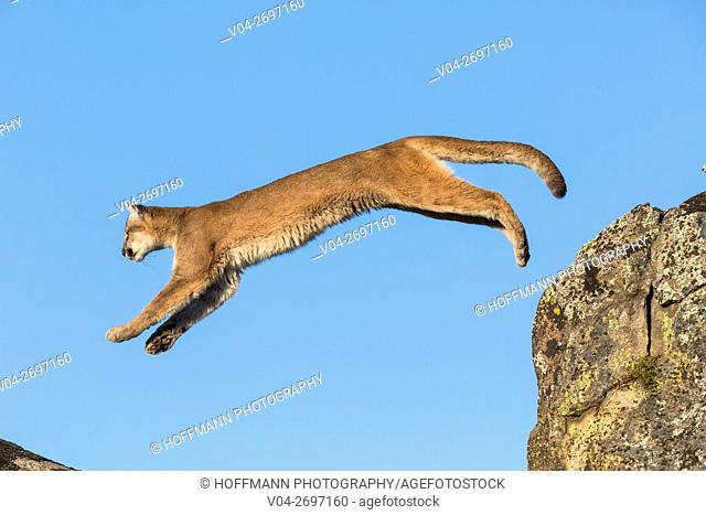 Adult mountain lion (Puma concolor) jumping, captive, California, USA