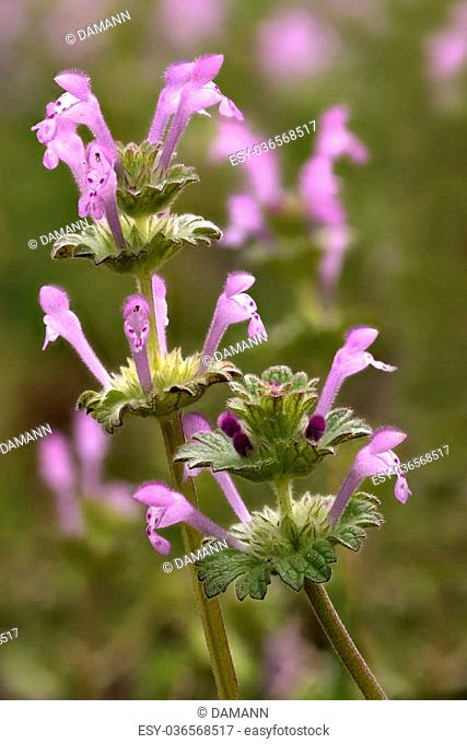 Henbit Wildflowers (Lamium amplexicaule) also known as Henbit Deadnettle, a common broadleaf lawn weed in the spring