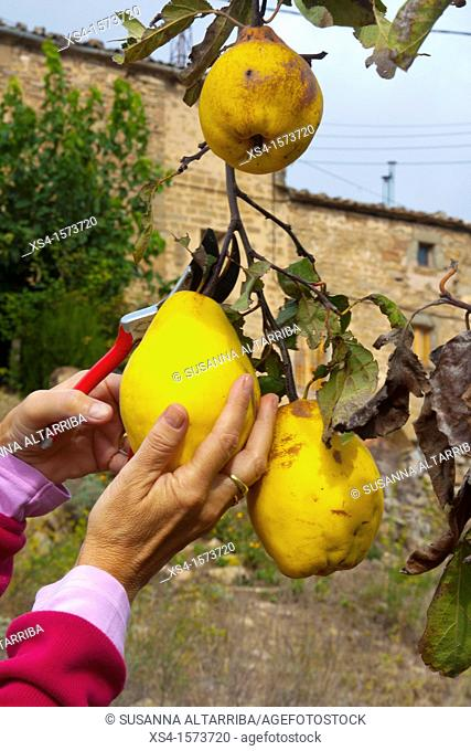 Women hands picking quinces. Cydonia oblonga. Photo take in Pinos, Lleida, Catalonia, Spain, Europe