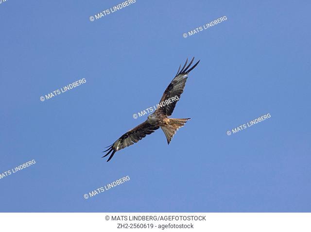 Red kite, Milvus milvus, gliding in the sky, Skåne, Sweden, Scandinavia