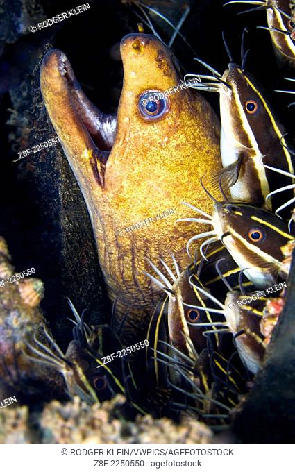 Morey Eel share hole with Coral Catfish, Hairball Divesite, Lembeh Strait, North Sulawesi