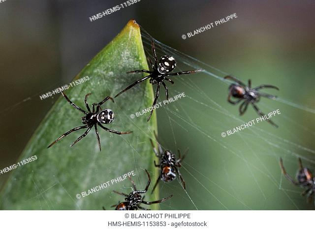 Italy, Araneae, Theridiidae, Mediterranean black widow or Steppe spider (Latrodectus tredecimguttatus), juveniles shortly after emergence of cocoon