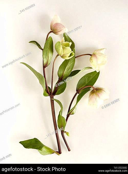 delicate hellebore flowers arranged artfully on a white surface