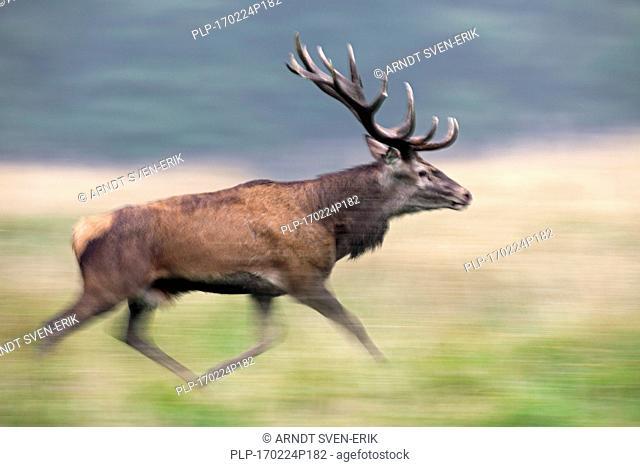 Red deer (Cervus elaphus) stag running during the rutting season in autumn