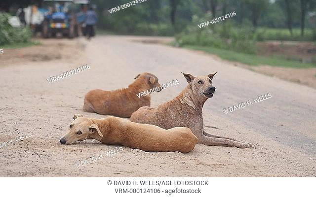 Stray dogs relaxing at roadside in rural area near Ahmedabad, Gujarat, India