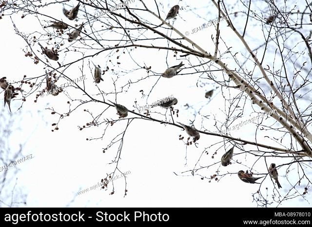 Greenfinches in winter on a birch